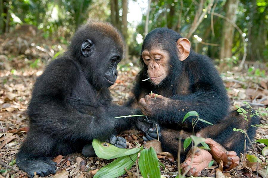 gorilla-and-chimp