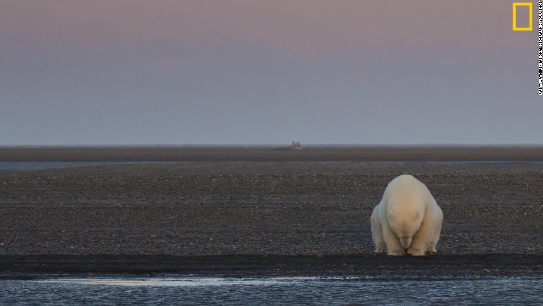 161118144402-polar-bear-climate-change-super-169